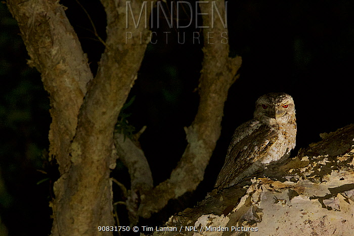 Papuan frogmouth (Podargus papuensis) hunting in the paperbark trees in the gallery forest along the Archer River. Piccaninny Plains Sanctuary, Cape York Peninsula, Queensland, Australia