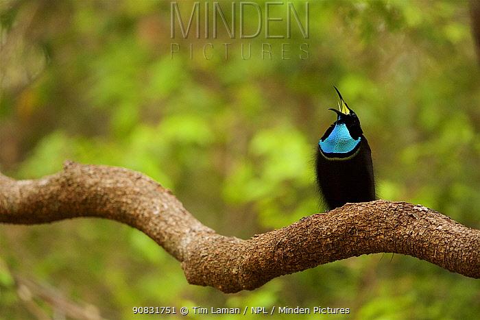 Magnificent riflebird (Ptiloris magnificus alberti) male, calling. Piccaninny Plains Sanctuary, Cape York Peninsula, Queensland, Australia