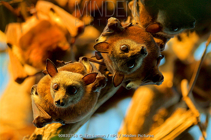 Little red flying fox (Pteropus scapulatus) roosting in colony, Piccaninny Plains Sanctuary, Cape York Peninsula, Queensland, Australia