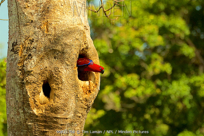 Eclectus Parrot (Eclectus roratus) female peering out from her nest cavity. Iron Range National Park, Cape York Peninsula, Queensland, Australia.
