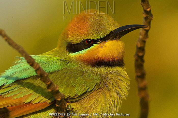 Rainbow bee-eater (Merops ornatus) resting on an island during migration. Johnson Islet, Torres Strait Islands, Queensland, Australia.