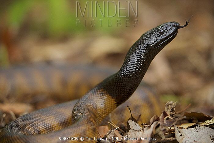 Black-headed Python (Aspidites melanocephalus)  Lockhart River, Cape York Peninsula, Australia