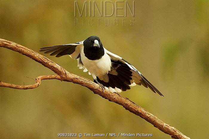Pied butcherbird (Cracticus nigrogularis) stretching its wings, Cape York Peninsula, Queensland, Australia.