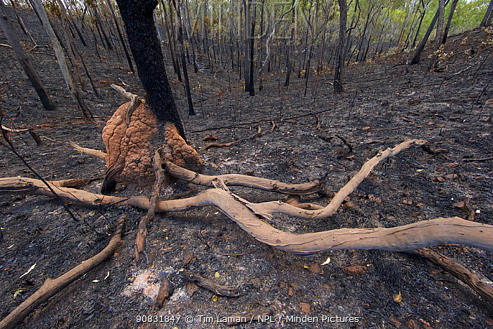 Recently burned area of woodland with termite mound along the Peninsula Development Road, Queensland, Australia