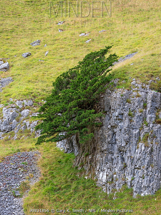 Yew tree (Taxus baccata) growing on limestone outcrop, surrounded by grassland. Yorkshire Dales National Park, England, UK. September 2019.