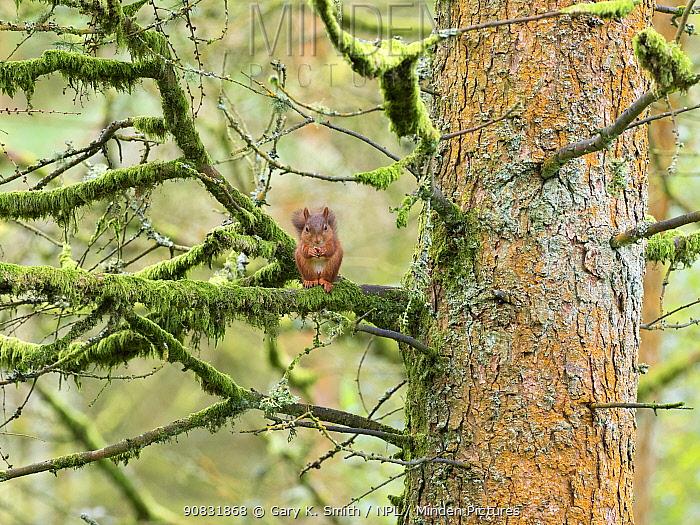 Red squirrel (Sciurus vulgaris) feeding in Pine (Pinus sp) tree. Yorkshire Dales National Park, North Yorkshire, England, UK. September.