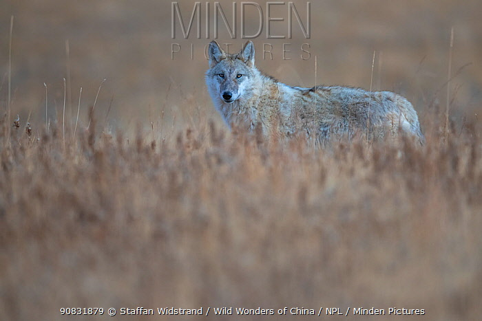 Tibetan wolf (Canis lupus filchneri) in grassland. Dulan Nature Reserve, Tibetan Plateau, Qinghai, China. October.