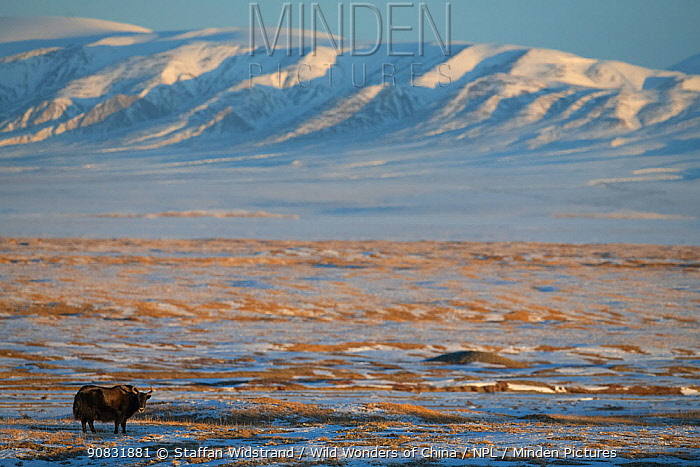 Wild yak (Bos mutus) in snow covered steppe, mountains in background. Hoh Xil Nature Reserve, Tibetan plateau, Qinghai, China. October 2019.