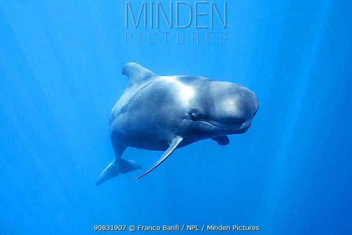 Short-finned pilot whale (Globicephala macrorhynchus) swimming below surface. South Tenerife, Canary Islands, Atlantic Ocean