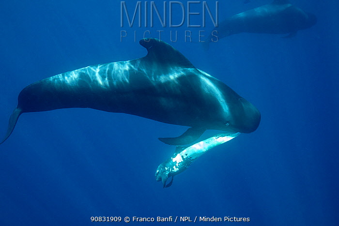 Short-finned pilot whale (Globicephala macrorhynchus) female carrying dead calf, South Tenerife, Canary Islands, Atlantic Ocean