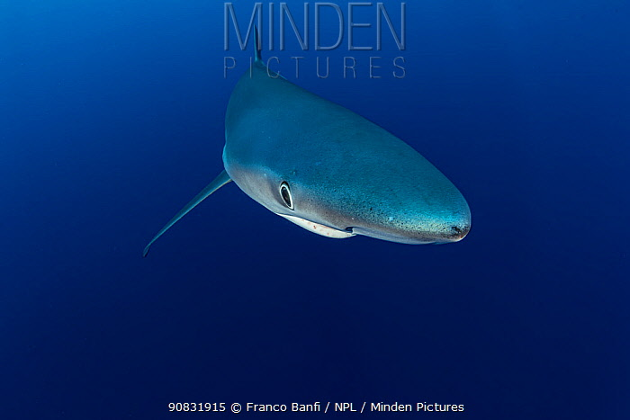 Blue shark (Prionace glauca) Pico Island, Azores, Portugal, Atlantic Ocean