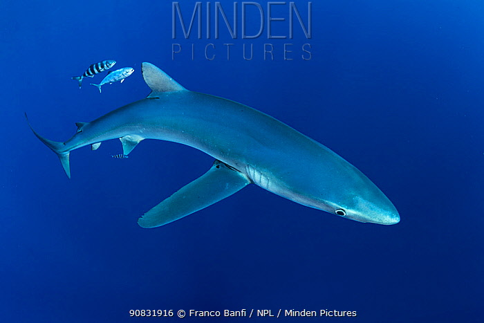 Blue shark (Prionace glauca) and Pilot fish (Naucrates ductor), Pico Island, Azores, Portugal, Atlantic Ocean