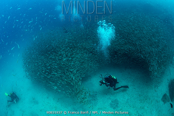 Scuba diver and shoal of Axillary seabream (Pagellus acarne), South Tenerife, Canary Islands, Atlantic Ocean.
