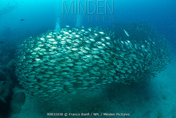 Shoal of Axillary seabream (Pagellus acarne), South Tenerife, Canary Islands, Atlantic Ocean.