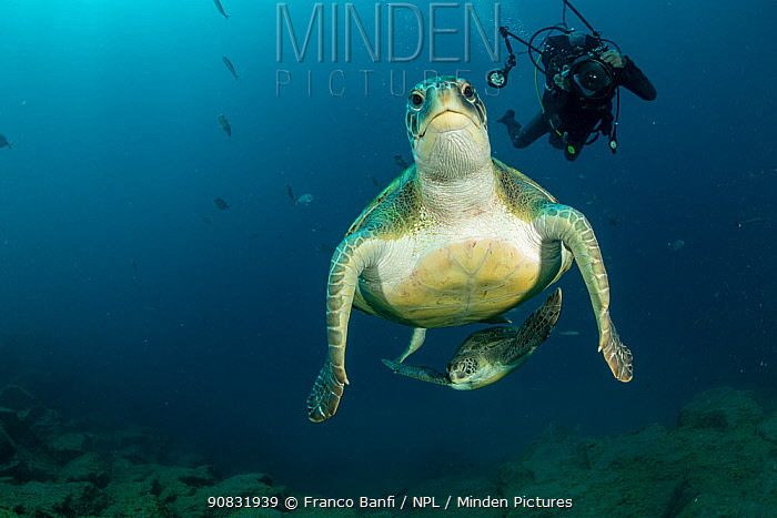 Scuba diver with two Green Turtles (Chelonia mydas), South Tenerife, Canary Islands, Atlantic Ocean.