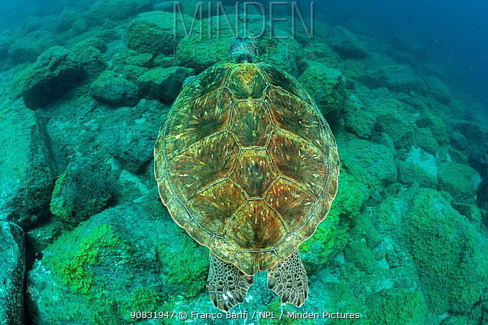 Green turtle (Chelonia mydas), South Tenerife, Canary Islands, Atlantic Ocean.