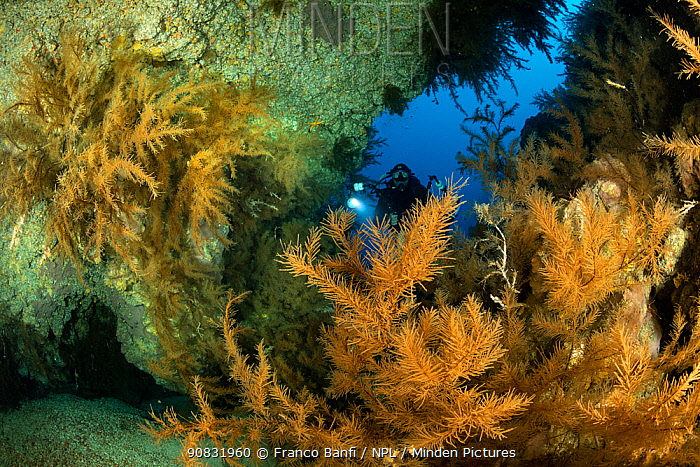 Scuba diver and Black coral (Antipathella wollastoni), South Tenerife, Canary Islands, Atlantic Ocean.