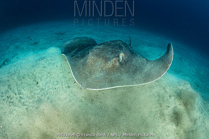Roughtail stingray (Dasyatis centroura), South Tenerife, Canary Islands, Atlantic Ocean.