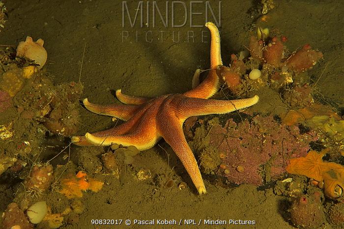 Purple sunstar (Solaster endeca) on sea floor, Russia. White Sea.