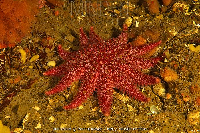 Common sunstar (Crossaster papposus) Russia. White Sea.