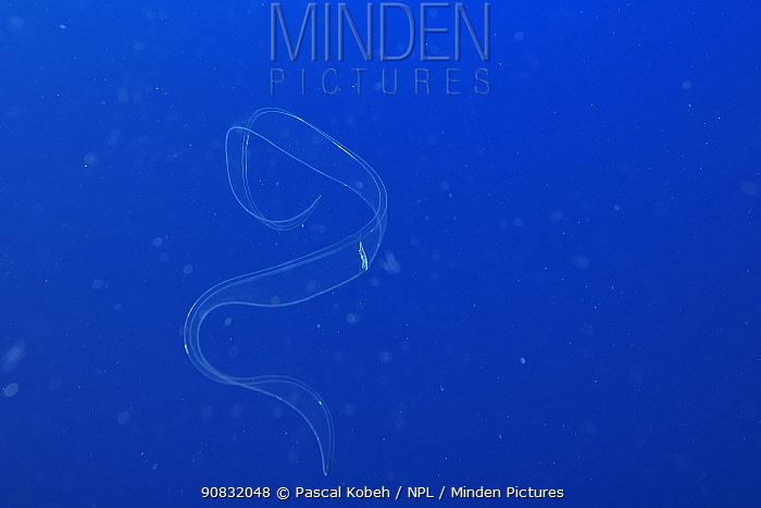 Venus girdle cnetophore (Cestum veneris) in the open water, Revillagigedo islands, Mexico. Pacific Ocean.