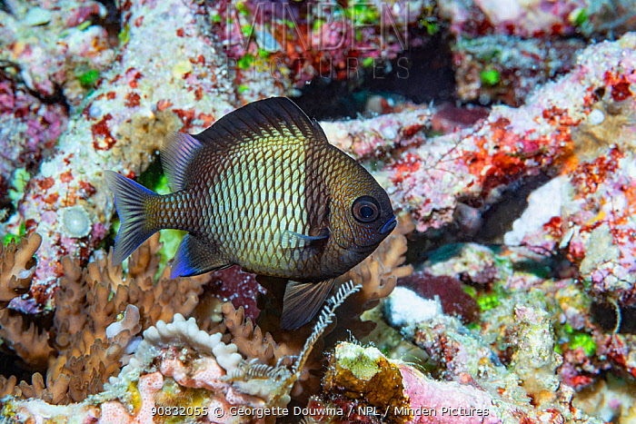 Reticulated damselfish (Dascyllus reticulatus). Derawen Islands, East Kalimantan, Indonesia.