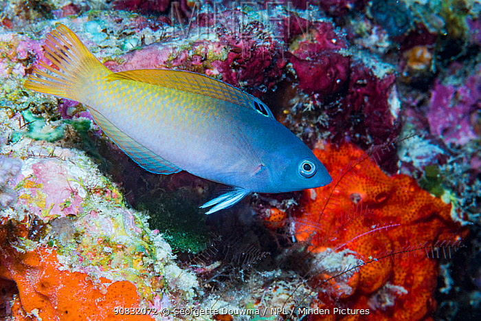 Twotone wrasse (Halichoeres prosopeion) over coral reef. Derawan Islands, East Kalimantan, Indonesia.