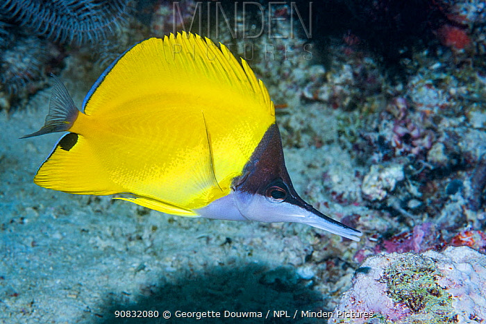 Long-nosed butterflyfish (Forcipiger flavissimus). Derawan Islands, East Kalimantan, Indonesia.