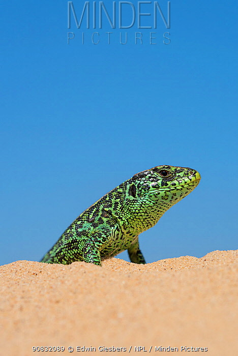 Sand lizard (Lacerta agilis) male, the Netherlands.