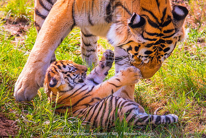 Siberian tiger (Panthera tigris altaica) female playing with cub age three months, captive.