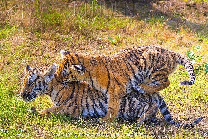 Siberian tiger (Panthera tigris altaica) cubs, age 3 months, playing. Captive.