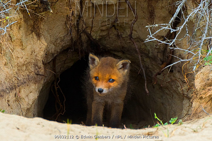 Red fox (Vulpes vulpes) cub age five weeks, at den in sand dunes, the Netherlands.