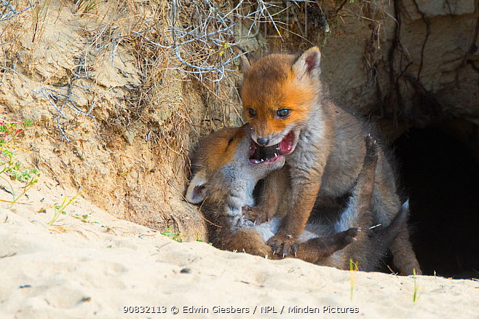Red fox (Vulpes vulpes) cubs age five weeks, playing at den in sand dunes, the Netherlands.