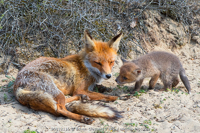 Red fox (Vulpes vulpes) female with cub age five weeks, the Netherlands.