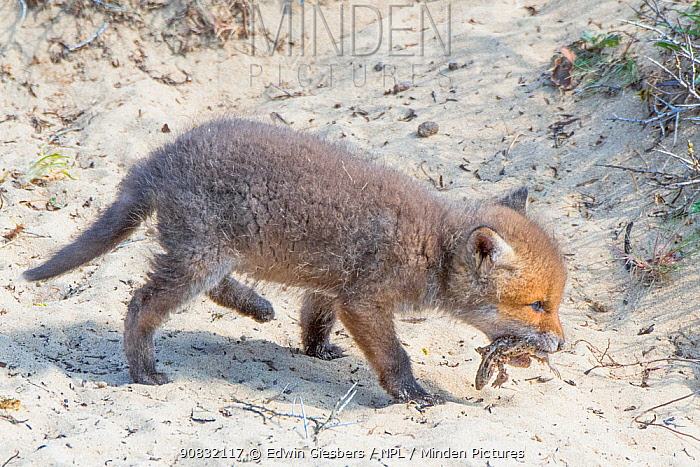 Red fox (Vulpes vulpes) cub, age five weeks feeding on sand lizard; Lacerta agilis, the Netherlands.