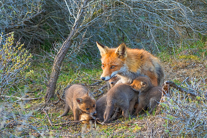 Red fox (Vulpes vulpes) cubs age five weeks, female with suckling cubs, the Netherlands.