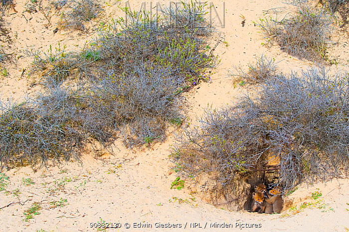 Red fox (Vulpes vulpes) cubs age five weeks, at den in sand dunes, the Netherlands.