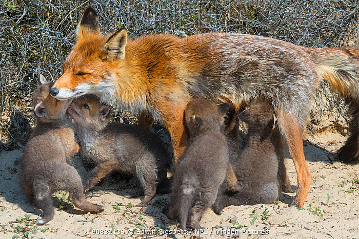 Red fox (Vulpes vulpes) female, suckling cubs age five weeks, the Netherlands.