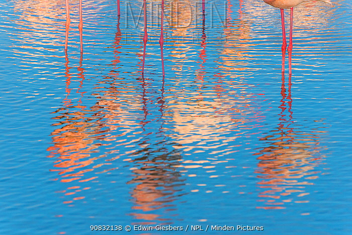 Greater flamingo (Phoenicopterus roseus) reflections in water, abstract, Pont Du Gau Park, Camargue, France.