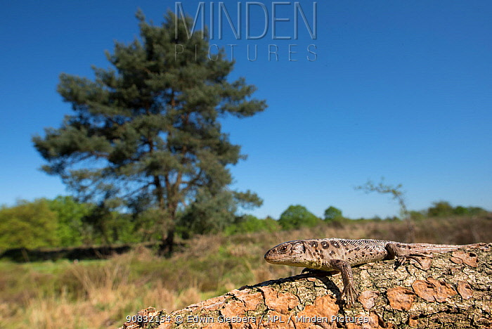 Sand lizard (Lacerta agilis) female, wide angle view, the Netherlands.