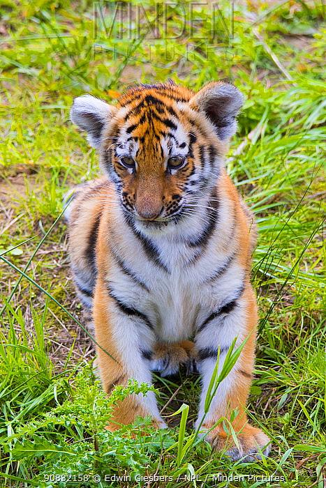 Siberian tiger (Panthera tigris altaica) cub, age three months, captive.
