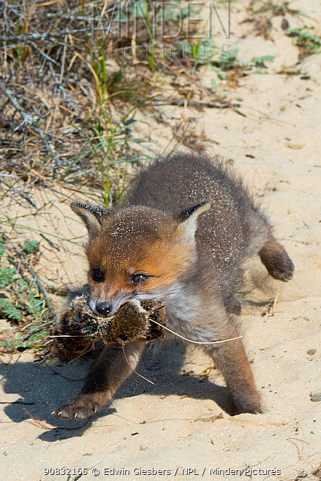 Red fox (Vulpes vulpes) cub, age five weeks, with mice received from mother, the Netherlands.
