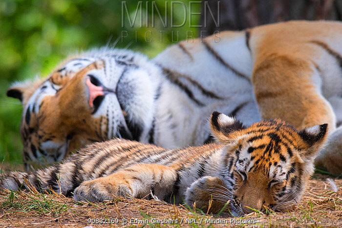 RF - Siberian tiger (Panthera tigris altaica) female and cub, age 3 months, resting, Captive. (This image may be licensed either as rights managed or royalty free.)