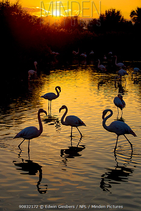 RF- Greater flamingo (Phoenicopterus roseus) flock silhouetted at sunset, Pont Du Gau Park, Camargue, France. (This image may be licensed either as rights managed or royalty free.)