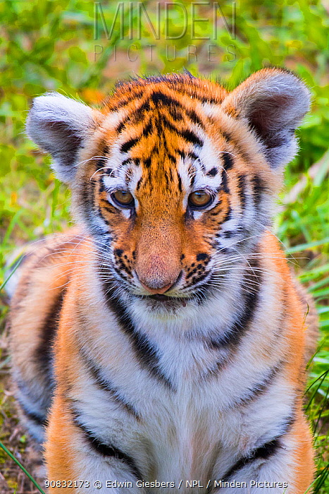 RF - Siberian tiger (Panthera tigris altaica) cub, age three months, portrait. Captive. (This image may be licensed either as rights managed or royalty free.)