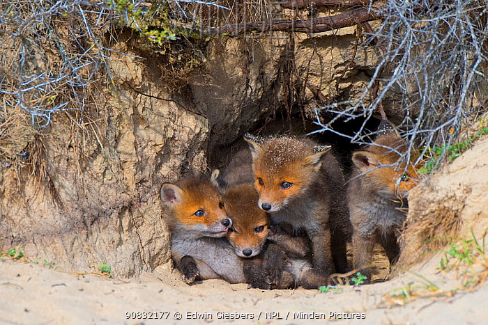 RF - Red fox (Vulpes vulpes) cubs age five weeks in den, the Netherlands. (This image may be licensed either as rights managed or royalty free.)