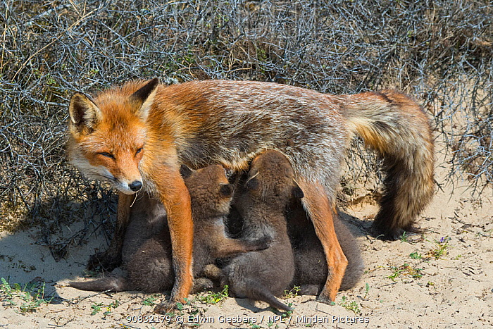 RF - Red fox (Vulpes vulpes) female with suckling cubs, age five weeks, the Netherlands. (This image may be licensed either as rights managed or royalty free.)