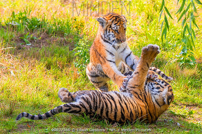 RF - Siberian tiger (Panthera tigris altaica) cubs, age three months, playing. Captive. (This image may be licensed either as rights managed or royalty free.)