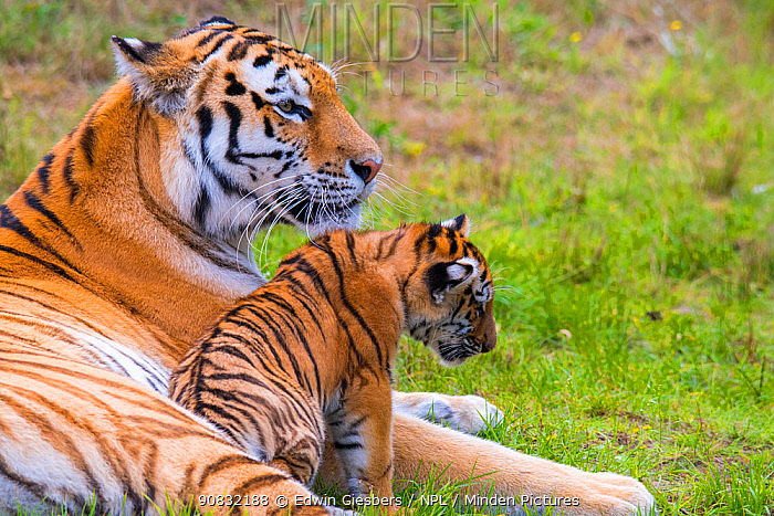 RF - Siberian tiger (Panthera tigris altaica) female with cub age three months, captive. (This image may be licensed either as rights managed or royalty free.)