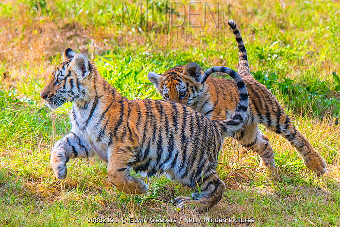 RF - Siberian tiger (Panthera tigris altaica) cubs,age three months, playing, captive. (This image may be licensed either as rights managed or royalty free.)